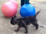 Millie goes around the balls